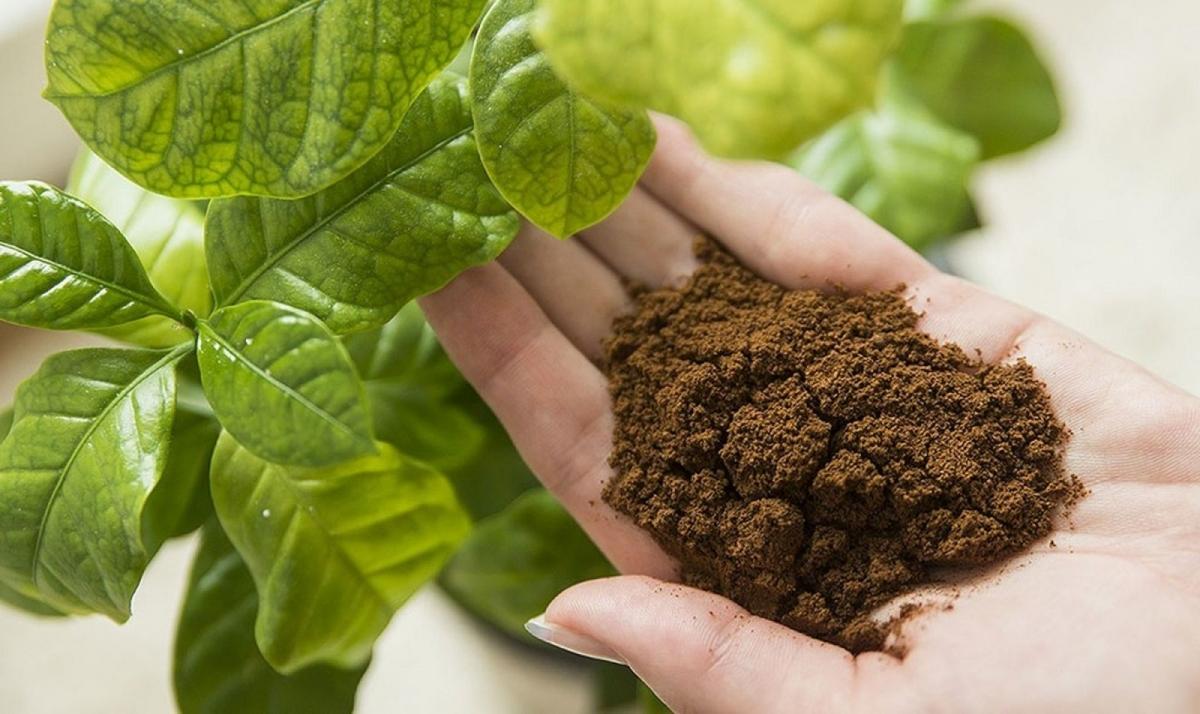 Любители комнатных растений используют остатки кофе из кофемашины или турки для подкормки цветов, мульчи и борьбы с вредителями