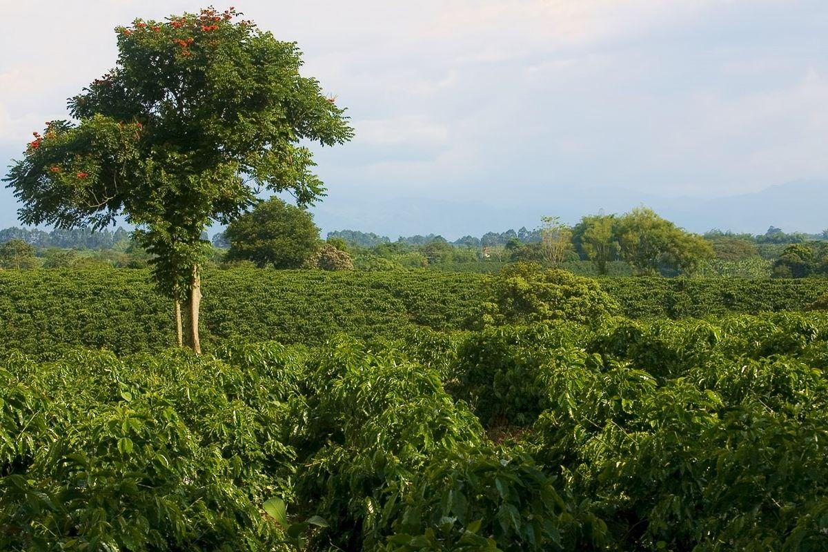 Кофе выращивается на плантациях в странах Южной Америки