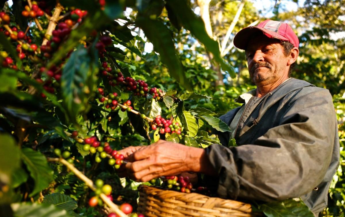 Кофейные зерна бережно собирают руками