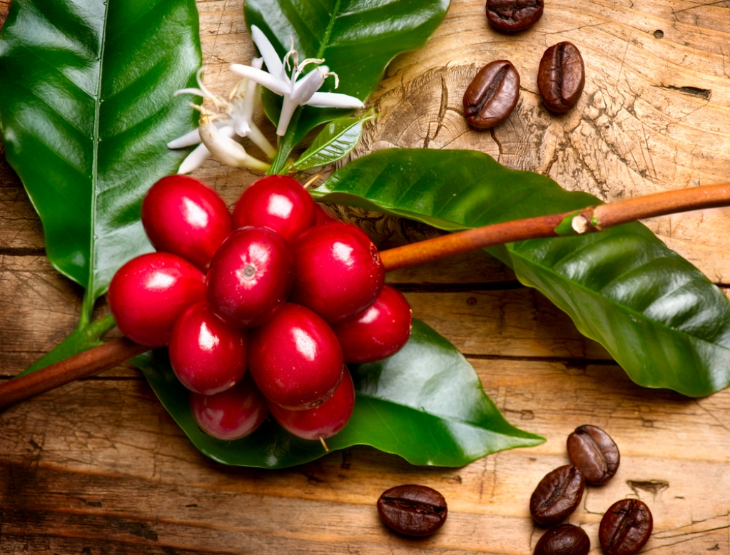Кофейные зерна вовсе не зерна – это семена ягод кофейного дерева