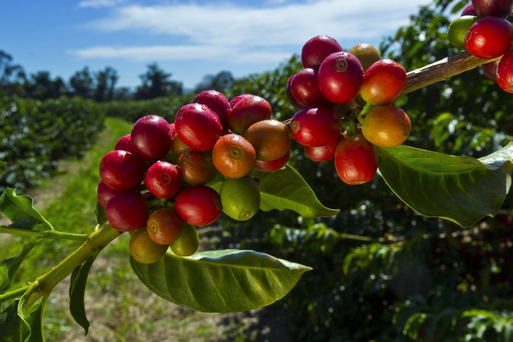 Кислотность кофе зависит от высоты произрастания растений