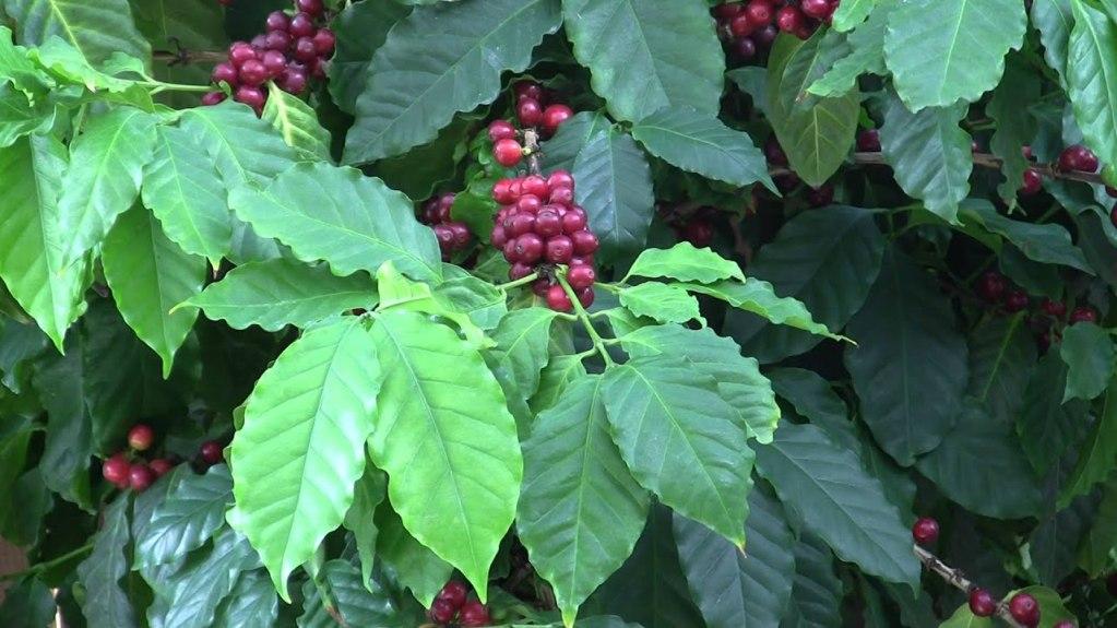 Вкус сорта Пакас имеет ярковыраженные пряные, цветочные и сладкие ноты