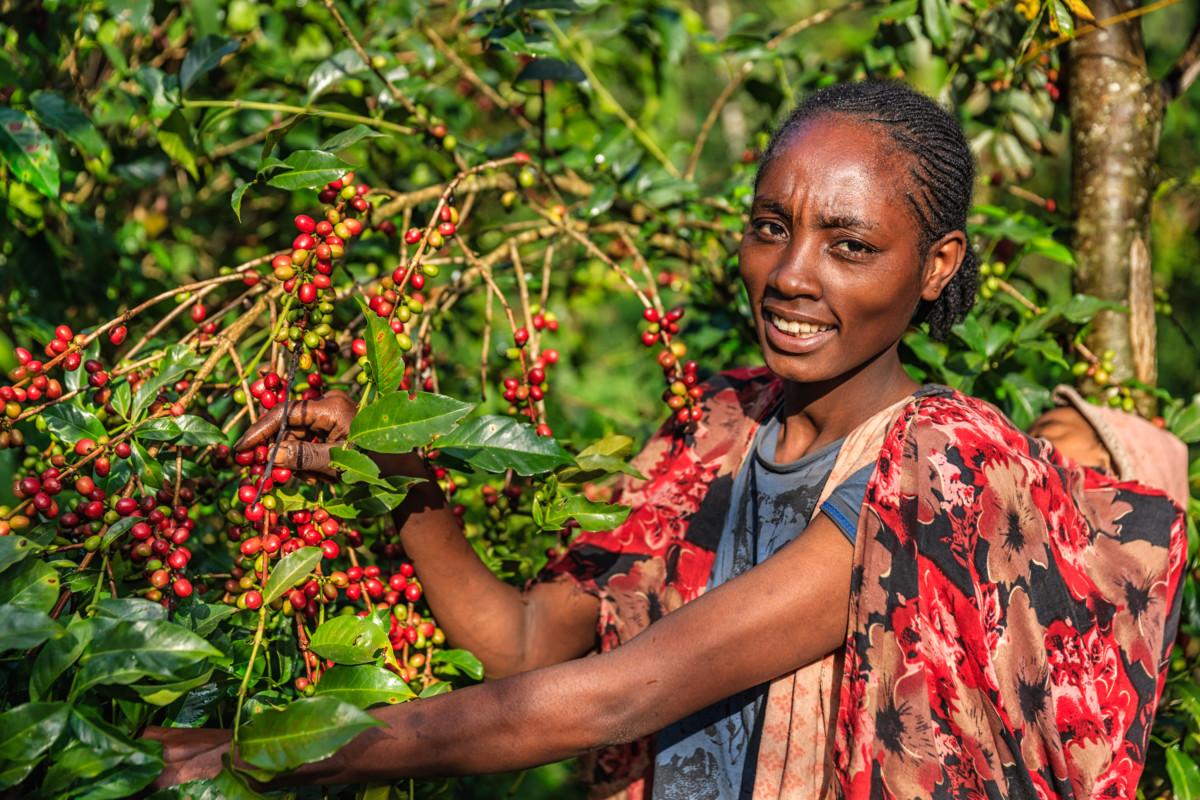 женщина возле кофейного дерева, где красные ягоды кофейного зерна